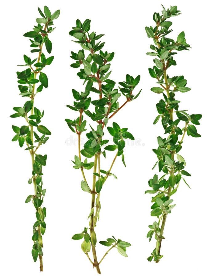 świeżej zieleni odosobnione tymiankowe gałązki zdjęcie stock