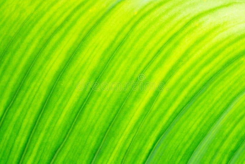 Świeżej zielonej liść tekstury naturalny abstrakcjonistyczny tło zamknięty w górę zdjęcie royalty free