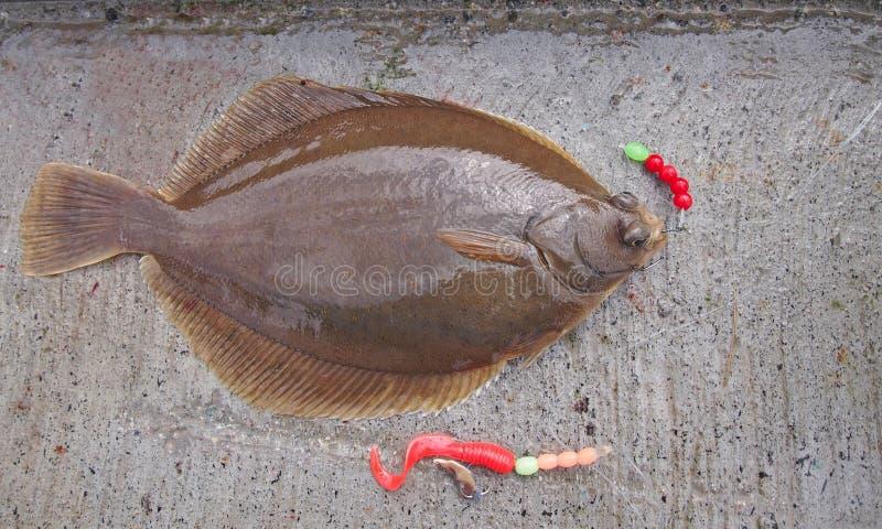 Świeżo płaska ryba - pospolita odrobina zdjęcie royalty free