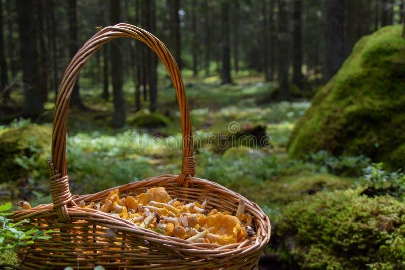 Świeżo ukradzeni złoci chanterelles w koszu w lesie obraz royalty free