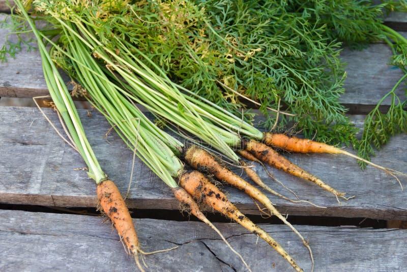 Świeżo zbierać marchewki od organicznie ogródu obrazy royalty free