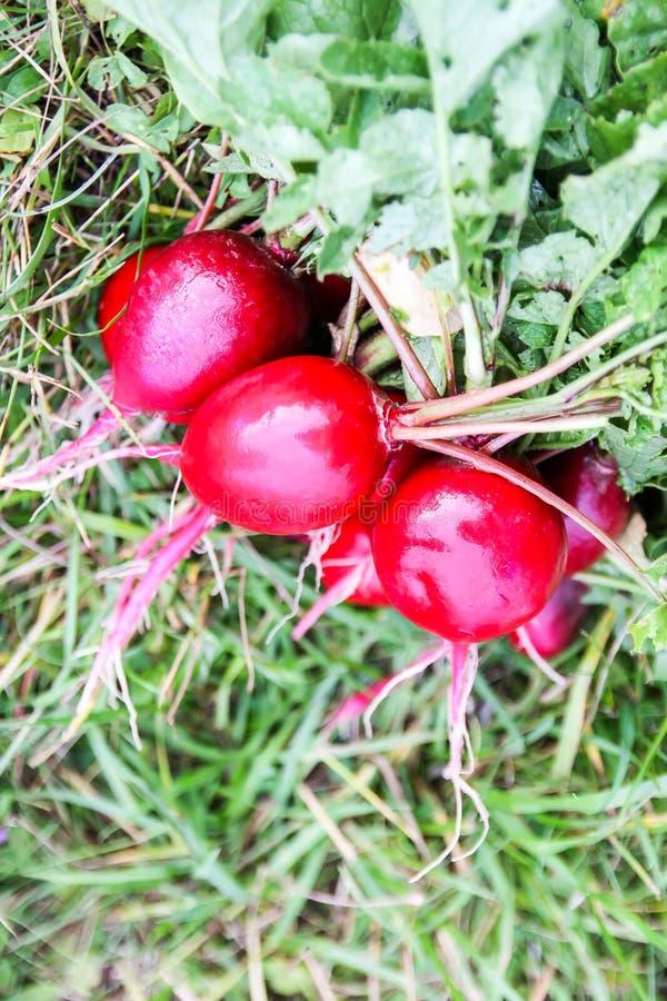 świeżo zbierać rzodkwie Wiązka mokrzy świezi warzywa na zielonej trawie fotografia royalty free