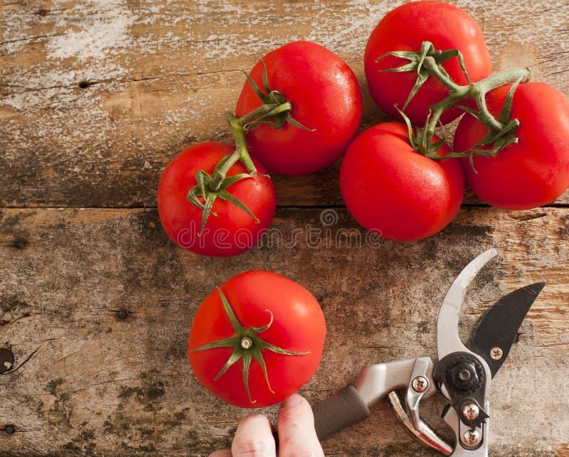 Świeżo zbierający dojrzali czerwonego winogrona pomidory obraz stock