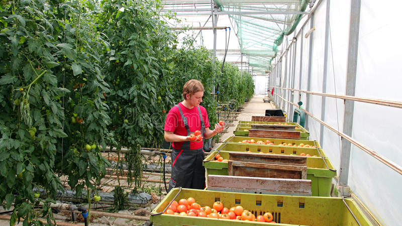Świeżo Zbierający pomidor w rolnik rękach fotografia royalty free