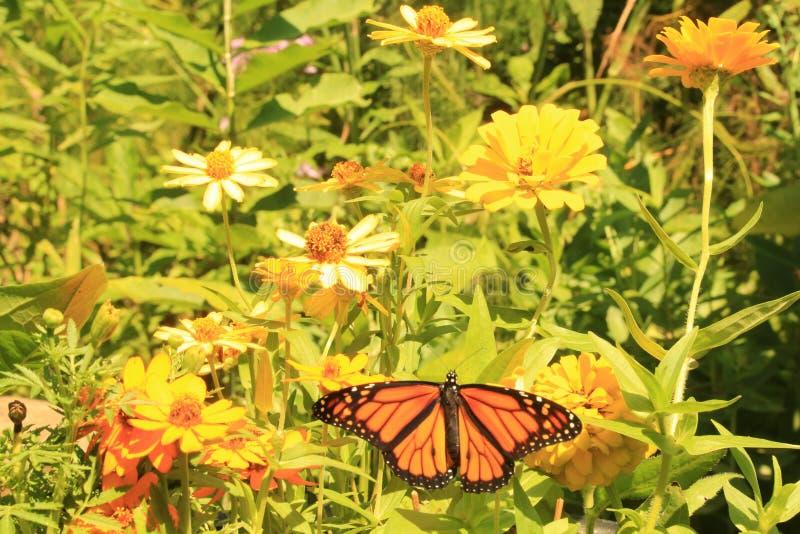 Świeżo znoszący Monarchiczny motyl na cyniach fotografia stock