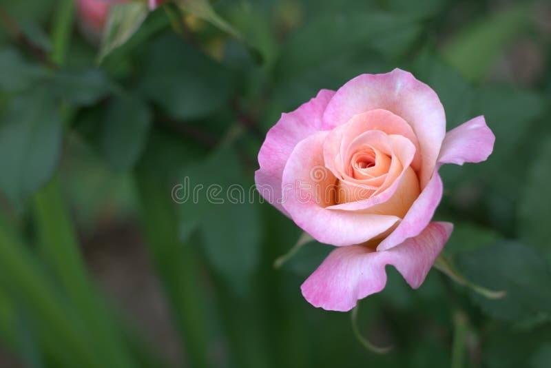 Świeży Śmietankowy światło - różowy pomarańcze róży kwiat obrazy stock