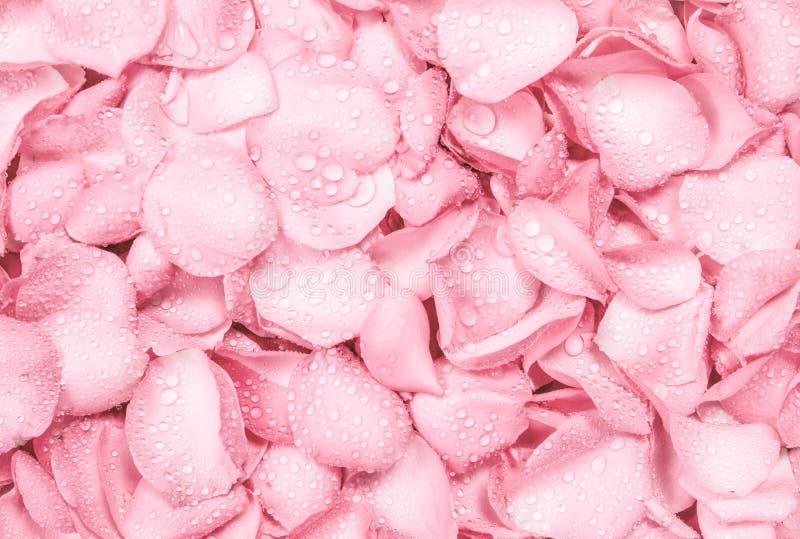 świeży światło - menchii róży płatka tło z woda deszczu kroplą obraz royalty free