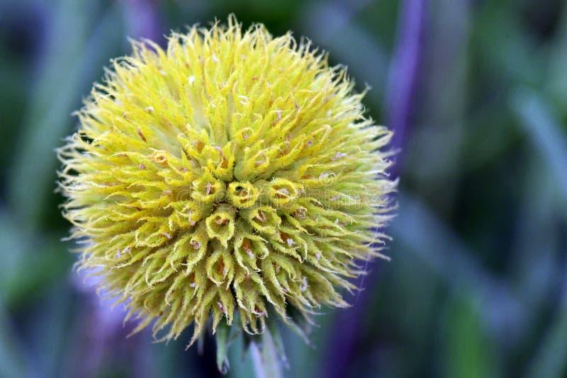 Świeży żółty kwiat w ogrodowy Powabnym, colourful i zdjęcia royalty free