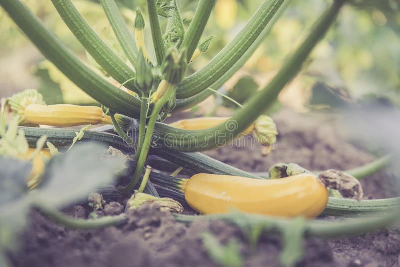 Świeży życiorys zucchini zdjęcie royalty free