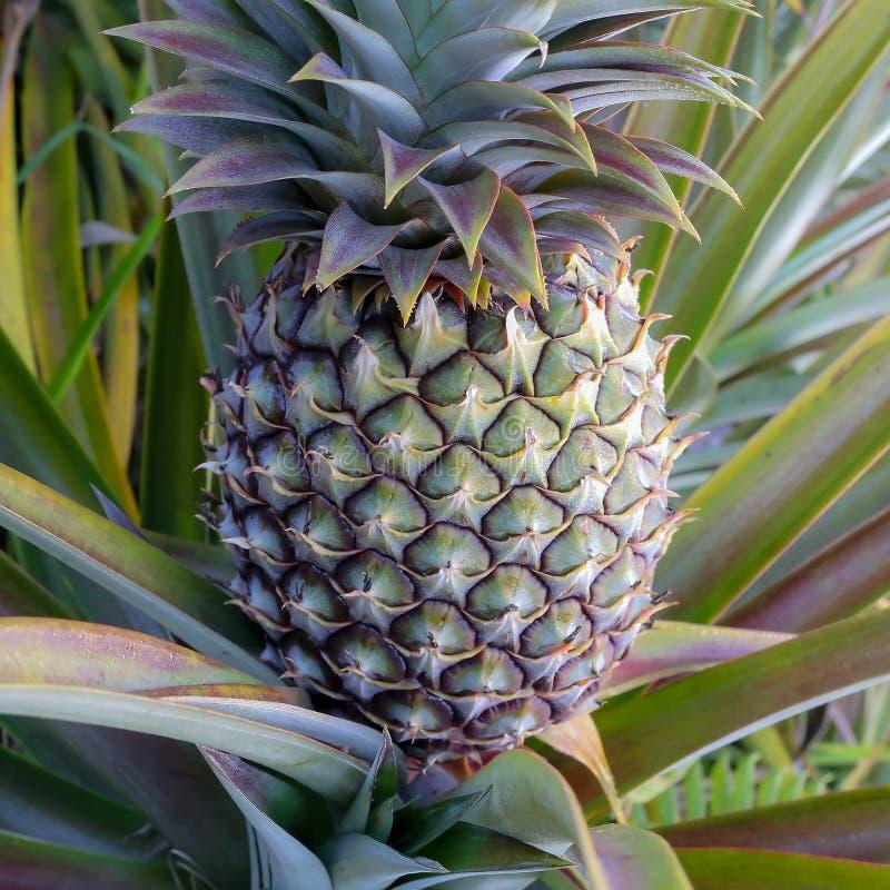 Świeży ananas przy gospodarstwem rolnym lub plantacją fotografia royalty free