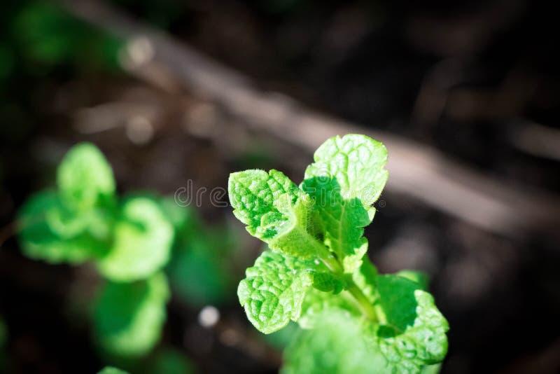 Świeży aromatyczny Nowy rośliny ziele zieleni liścia zakończenie w górę kolorowego obrazy royalty free