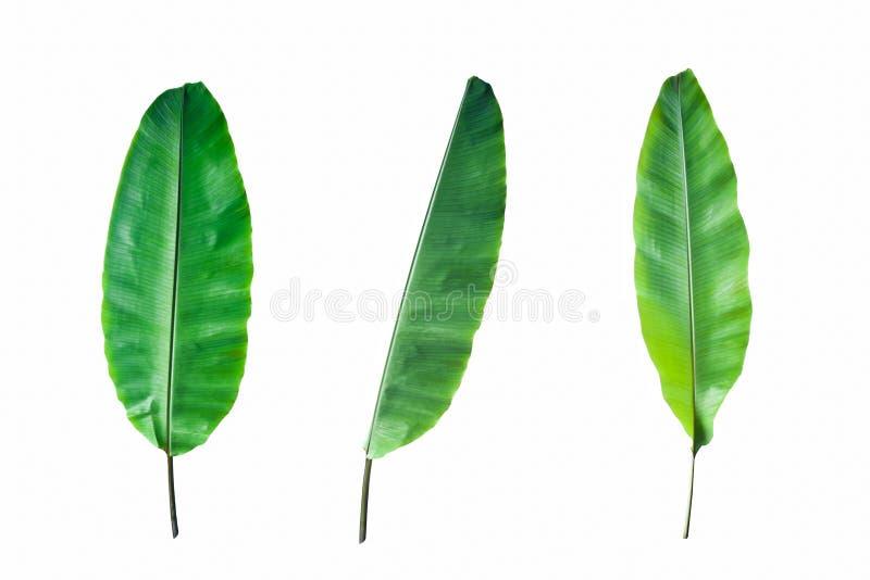 Świeży Bananowy liść Odizolowywający zdjęcie stock