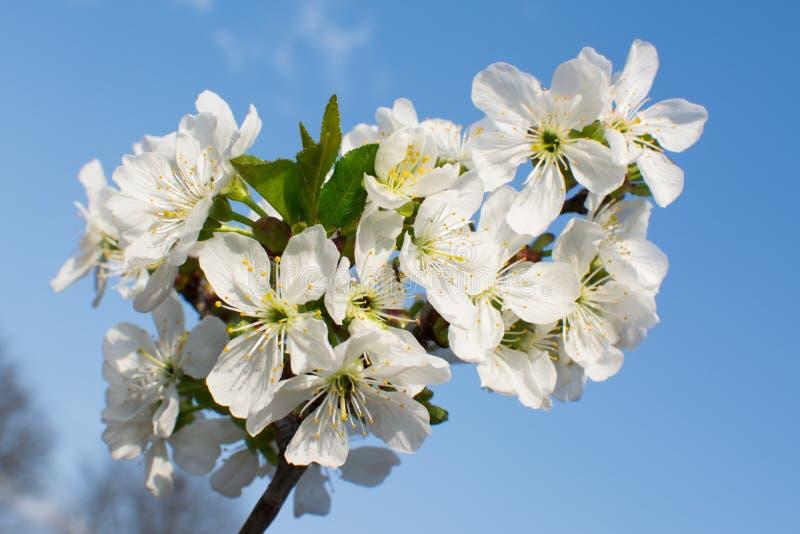 Świeży biały kwiat fotografia stock