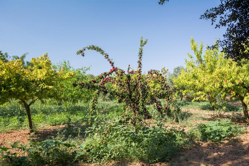 Świeży brzoskwini drzewo na Mallorca Inka, Mallorca, Hiszpania obraz royalty free