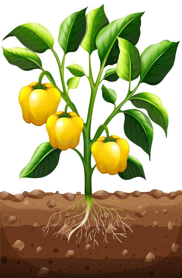 Świeży capsicum na roślinie ilustracja wektor
