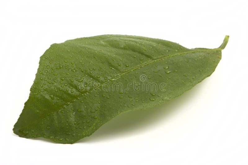 Download Świeży Cytryna Liść W Kroplach Zdjęcie Stock - Obraz złożonej z rośliny, świeżość: 41951350