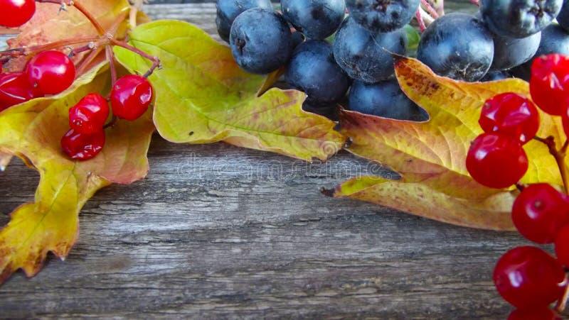 Świeży czarny chokeberry i czerwieni viburnum zdjęcie stock
