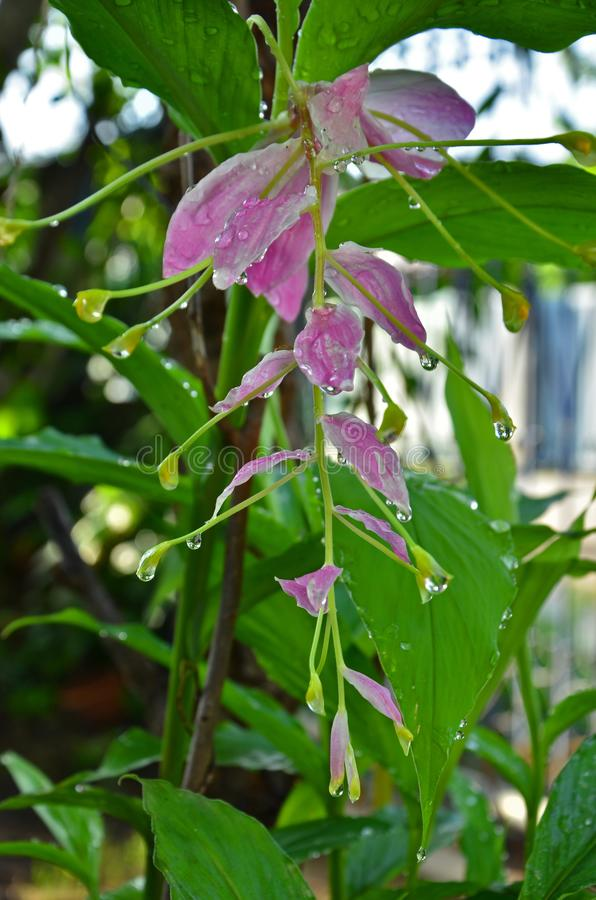 Świeży dews na różowych dancingowych dam imbirowych kwiatach zdjęcia stock