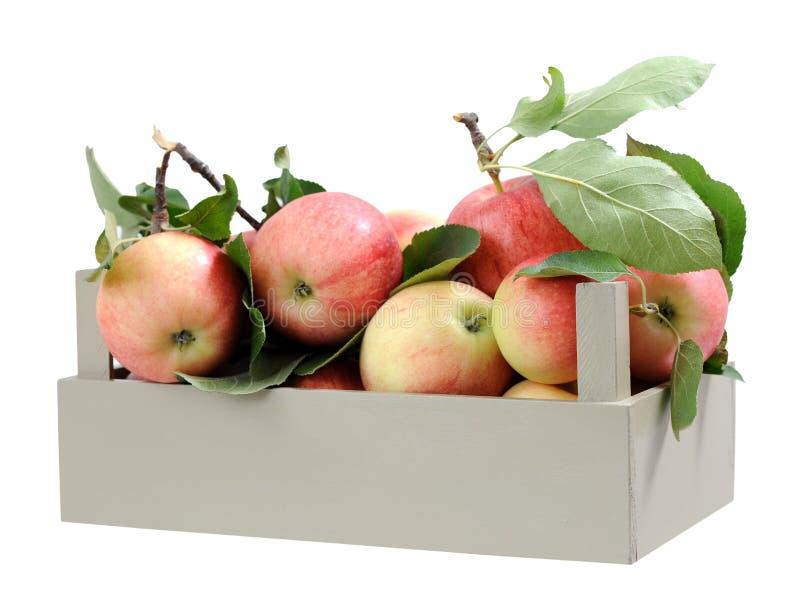 Świeży dojrzały galowy jabłko fotografia royalty free