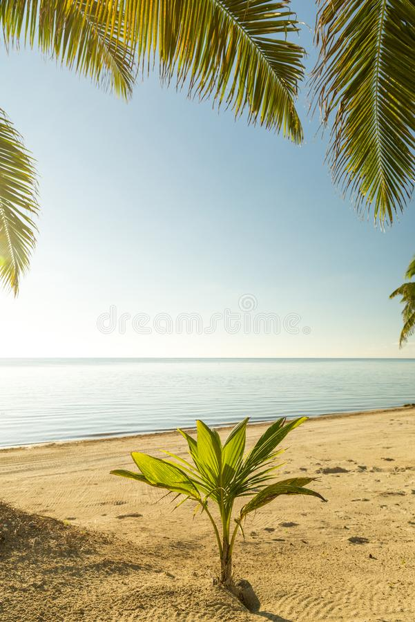 Świeży drzewka palmowego dorośnięcie obraz stock