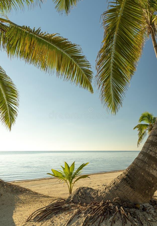 Świeży drzewka palmowego dorośnięcie fotografia royalty free
