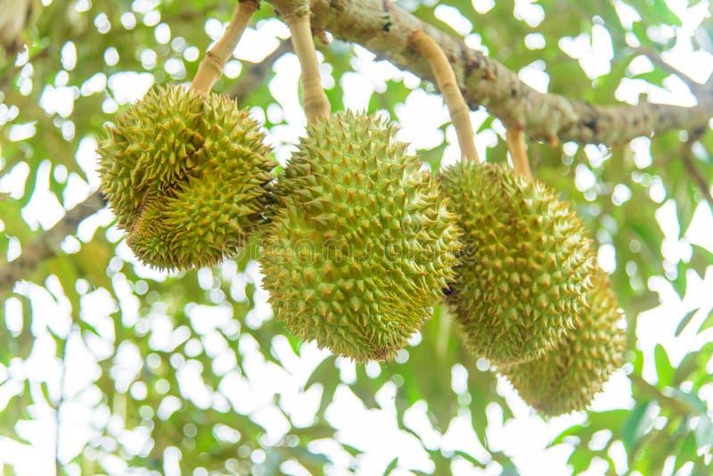 Świeży durian na drzewie zdjęcia stock
