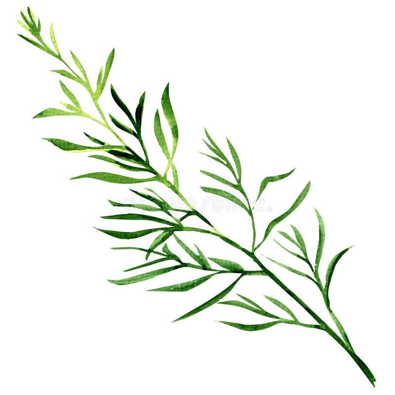 Świeży estragonowy ziele odizolowywający na białym tle royalty ilustracja