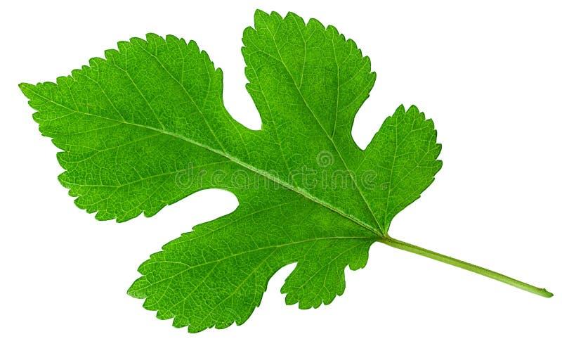 Świeży figi owoc liść zdjęcie royalty free