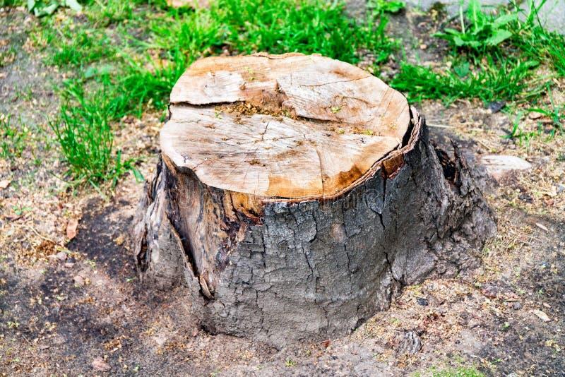 Świeży fiszorek, rżnięty drzewo, zakorzenia od drzewa zdjęcie royalty free