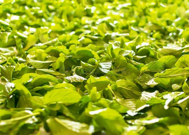 Świeży gojenie zieleni nowych liści tło Przyprawowa miętówka zdjęcia stock