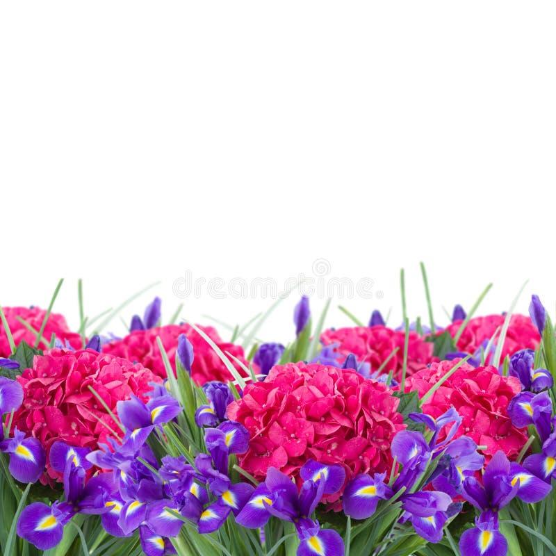 Świeży hortensia i irysowa kwiat granica zdjęcia stock