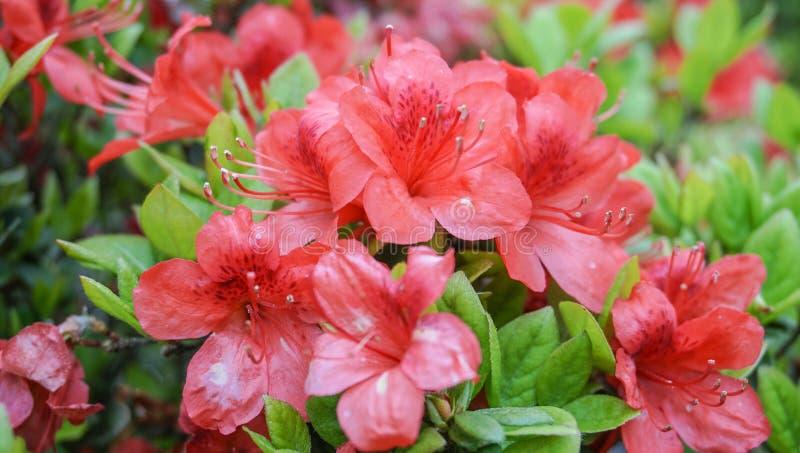 Świeży i czerwony kwiat zdjęcia royalty free