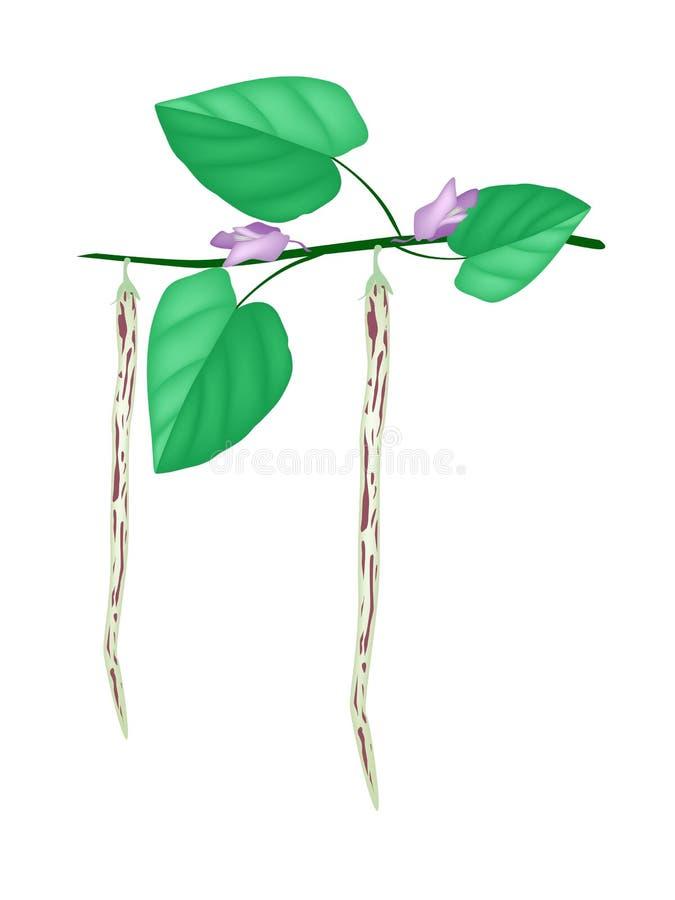 Świeży i Dojrzały Centrosema Pubescens na roślinie ilustracja wektor