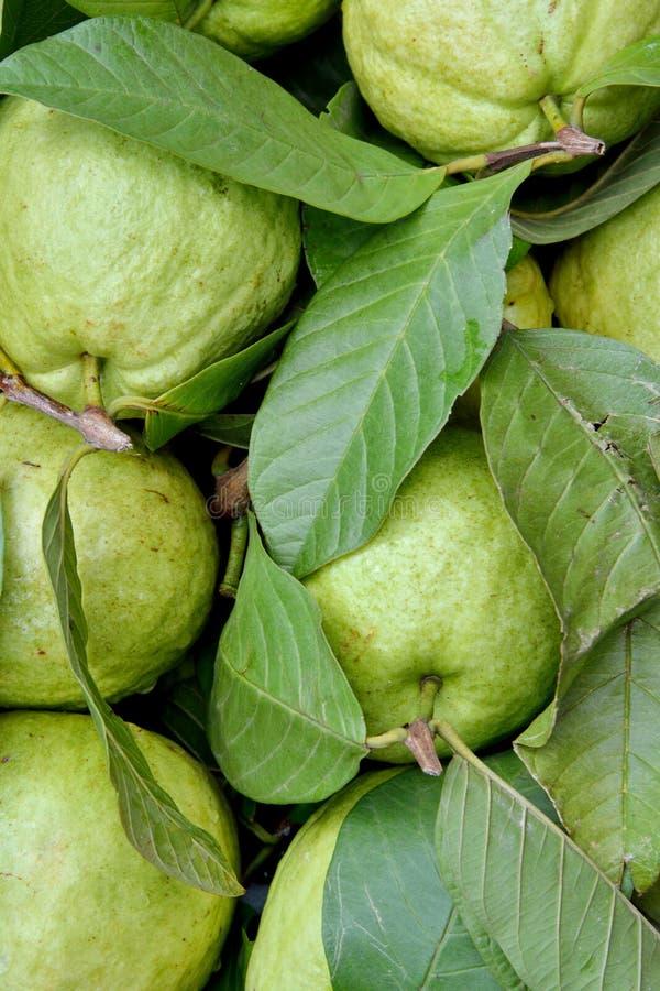 Świeży jabłczany guava w zieleni