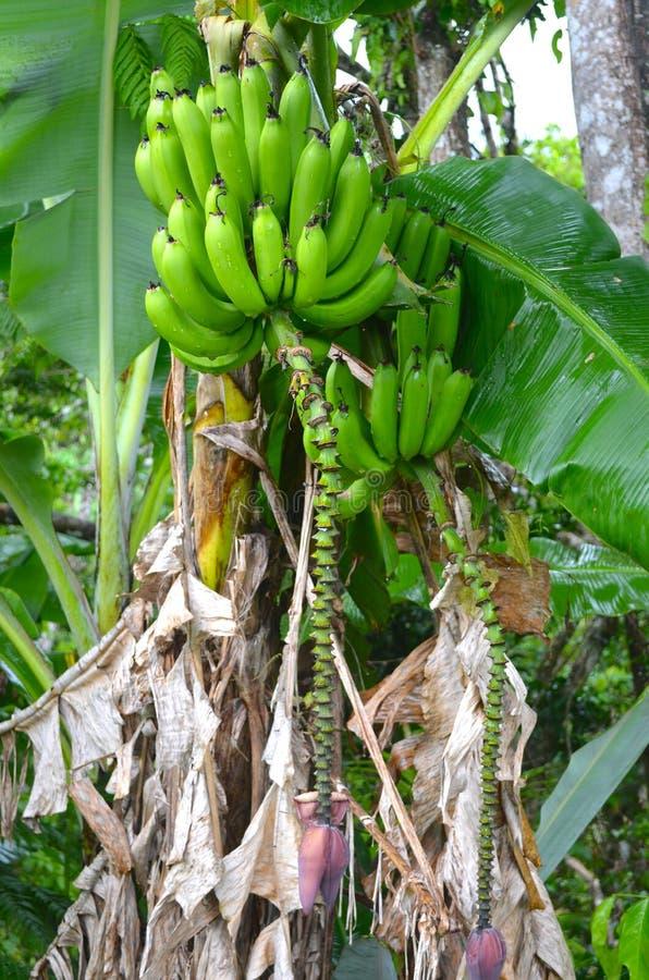 Świeży jaskrawy - zieleni banany r na Puerto Rican gospodarstwie rolnym, zdrowy bananowy drzewo z pełną uprawą zdjęcia royalty free