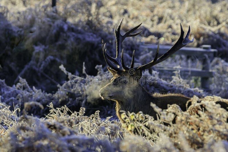 Świeży jeleń zdjęcie royalty free