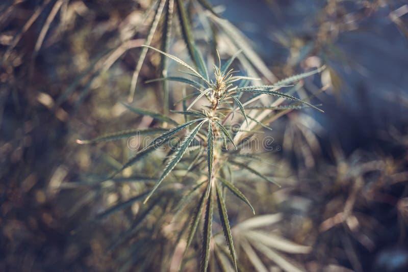 Świeży konopie zdjęcie royalty free