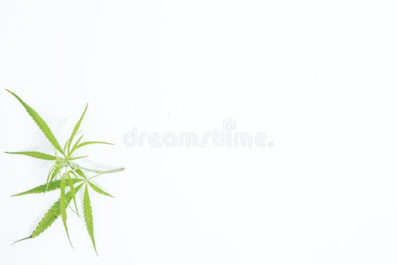 Świeży konopie Opuszcza na białym tle jako dekoracja obraz stock