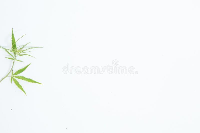 Świeży konopie Opuszcza na białym tle jako dekoracja obraz royalty free