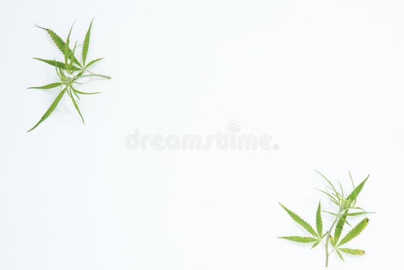 Świeży konopie Opuszcza na białym tle jako dekoracja zdjęcia royalty free