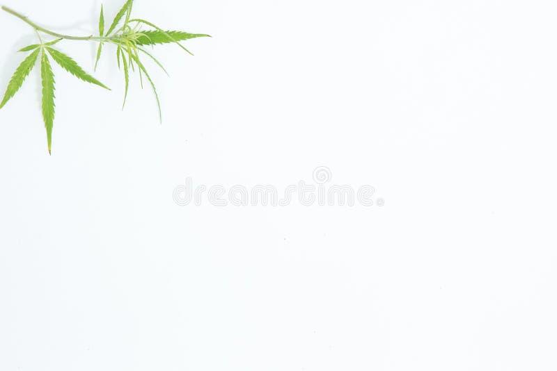 Świeży konopie Opuszcza na białym tle jako dekoracja fotografia stock
