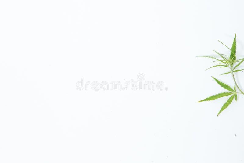 Świeży konopie Opuszcza na białym tle jako dekoracja obrazy stock