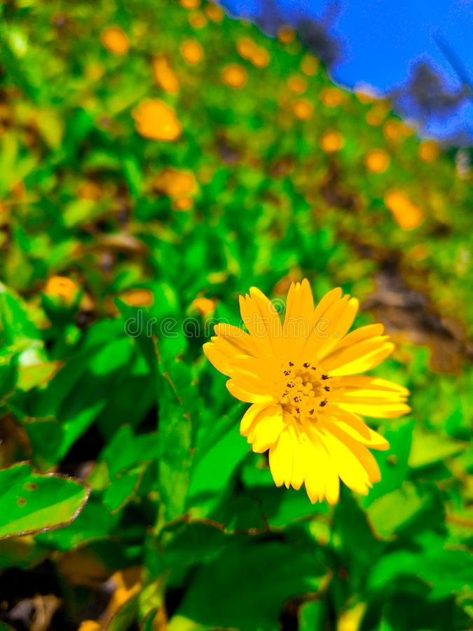 świeży kwiatu kolor żółty zdjęcie stock
