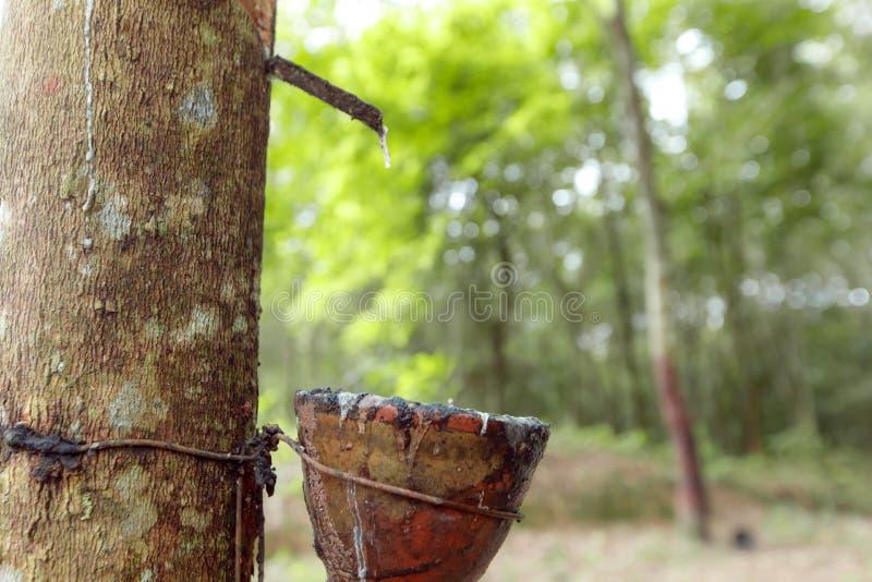 Świeży lateks od gumowego drzewa zdjęcie royalty free