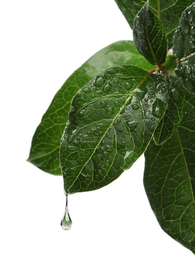 Świeży liść z wody opadowy spadać fotografia stock