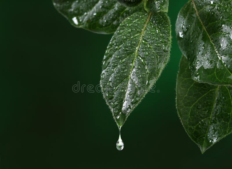 Świeży liść z wody opadowy spadać obraz royalty free