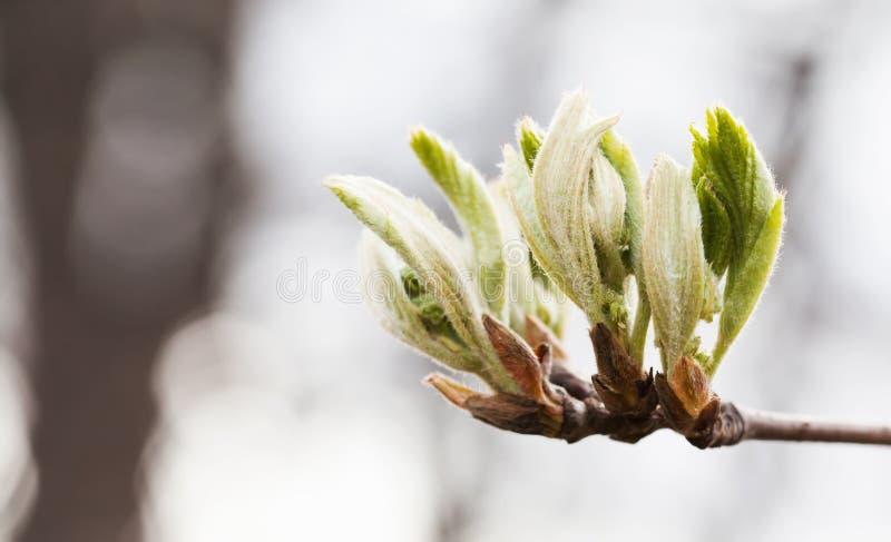 Świeży młody greenery opuszcza gałąź Wiosna czas i nowy życia pojęcie Miękka ostrość, makro- widok płytkiej głębii pole obrazy royalty free