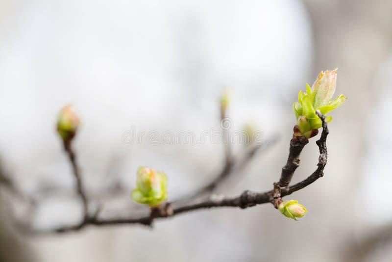 Świeży młody greenery opuszcza gałąź Wiosna czas i nowy życia pojęcie Miękka ostrość, makro- widok płytkiej głębii pole fotografia stock