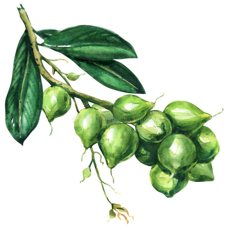 Świeży macadamia drzewo, gałąź z owoc, dokrętki na gałąź, organicznie produkt dla macadamia oleju, odizolowywający, ręka rysująca fotografia stock