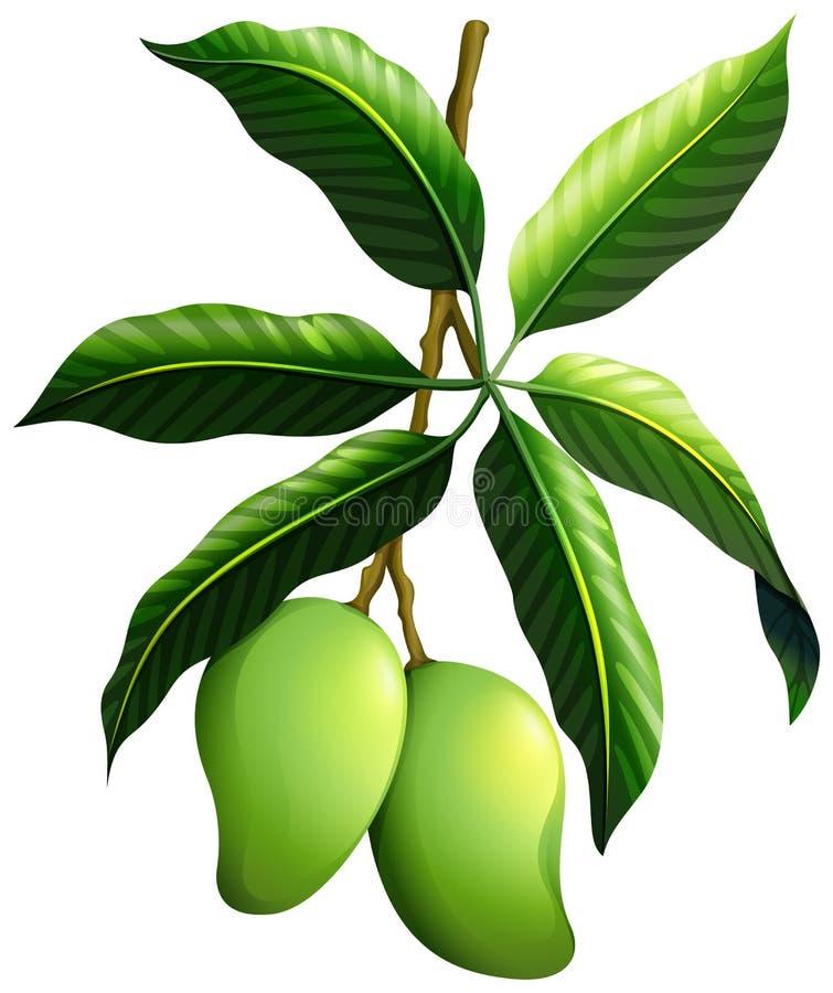 Świeży mango na gałąź ilustracji